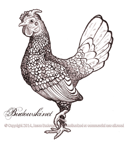 2011 10 17 sebright rooster