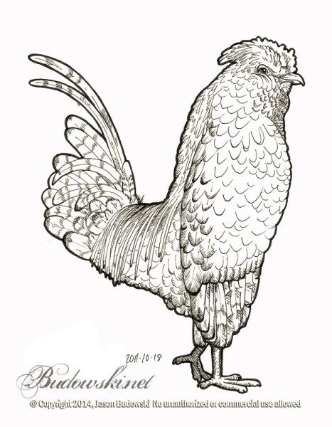2011 10 18 belgian bearded silver quail cuckoo
