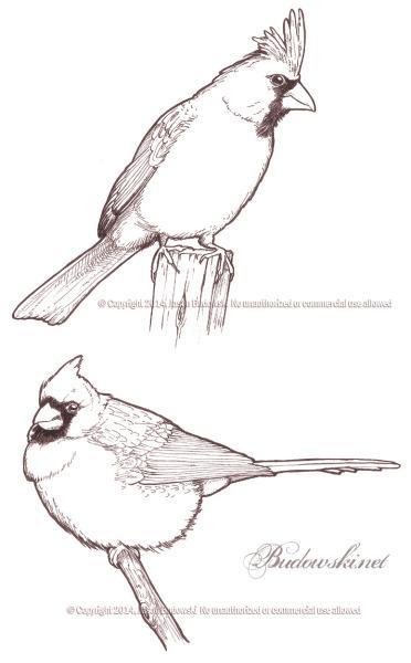 2011 10 22 northern cardinal