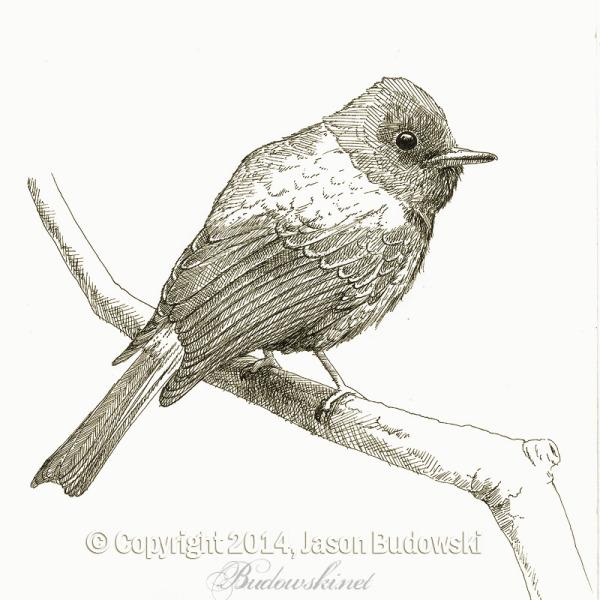 2014-06-28-canary-flycatcher-800hWM